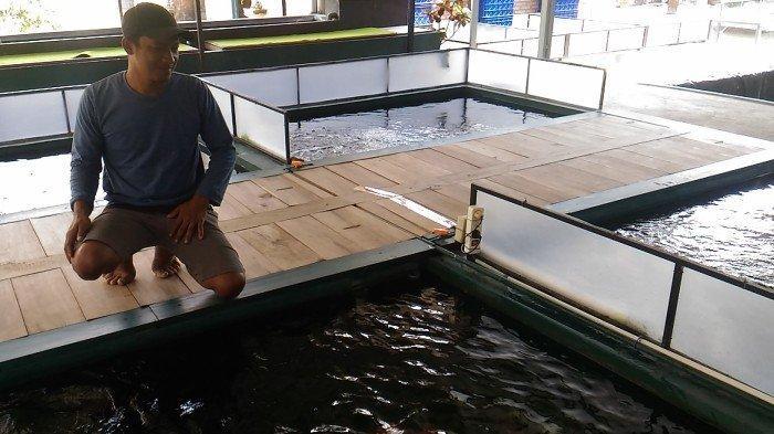 Tetap Laris, Peternak Ikan Hias di Desa Gumiwang Banjarnegara Pasok Koi Hingga Luar Daerah