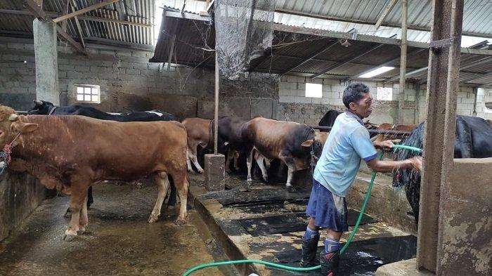 Rudin, Peternak di Banjarnegara Sumringah. 96 Ekor Sapinya Ludes Dibeli untuk Kurban Iduladha