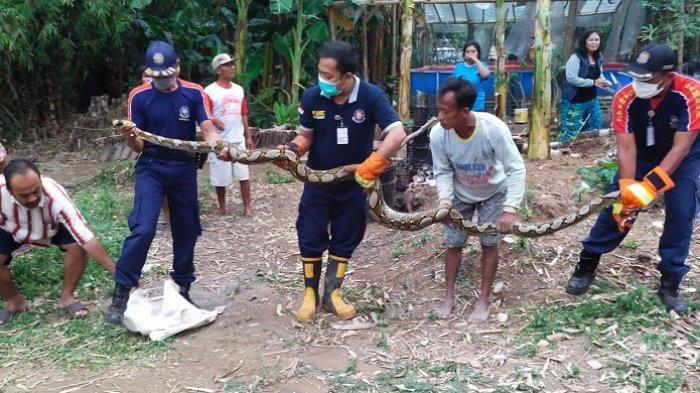Damkar Pati Evakuasi Ular Piton 3,5 Meter, Ditemukan di Bekas Rumpun Bambu dengan 24 Butir Telur