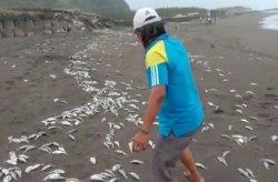 Ribuan Bangkai Ikan Berserakan di Pantai Cemara Sewu Cilacap