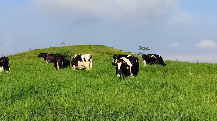 Bukit Manggala Cilongok Banyumas, Tawarkan Panorama Padang Rumput Layaknya di New Zealand