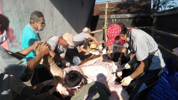 Ini Sapi Kurban Presiden Jokowi di Desa Sirau Purbalingga, Beratnya Capai Satu Ton Lebih