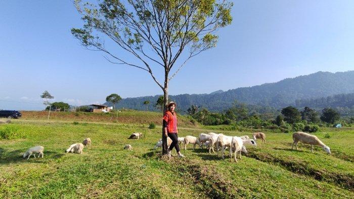 Seorang pengunjung berfoto di padang rumput berlatar belakang kambing yang dilepas liar di bukit Manggala di peternakan milik Balai Besar Pembibitan Ternak Unggul dan Hijauan Pakan Ternak (BBPTU-HPT) di Desa Karangtengah, Kecamatan Cilongok, Kabupaten Banyumas, Sabtu (5/6/2021).
