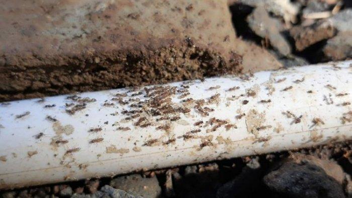 Koloni Semut Serbu Pemukiman di Pageraji Banyumas, BPBD dan Polisi Turun Tangan