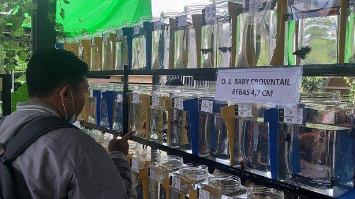 198 Peserta Ikuti Kontes Ikan Cupang di Kudus, Perebutkan Uang dan Tropi di 9 Kategori
