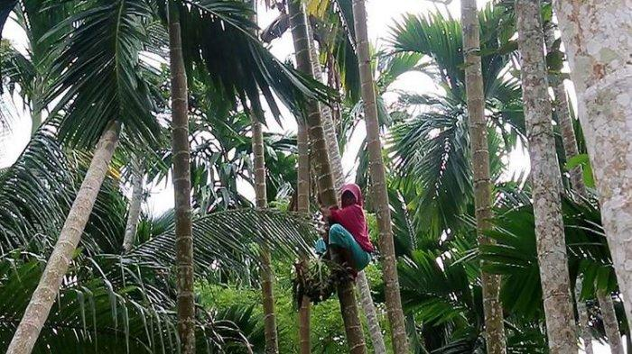 Kisah Siti Hajar, Si Perempuan Tangguh. Sehari Panjat 60 Pohon Pinang demi Hidupi 4 Anggota Keluarga
