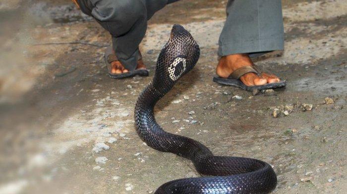 Bangun Tidur Nenek Ini Histeris Ada Ular Kobra di Atas Tubuhnya, Kena Semburan Bisa Begini Nasibnya