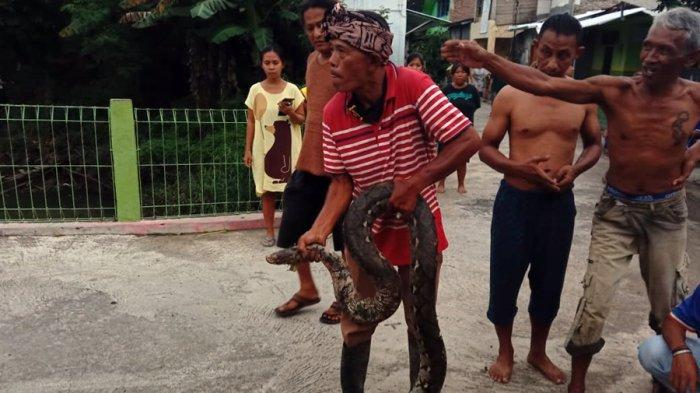 Teka-teki Ayam Hilang di Dusun Daleman Karanganyar Akhirnya Terungkap, Diduga Dimangsa Ular Piton