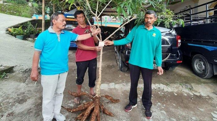Sudah Dipatenkan, Dua Varietas Lokal di Karanganyar, Singkong Jarak Towo dan Kopi Lawu
