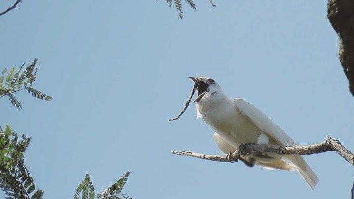Suara Burung Ini Bisa Merusak Pendengaran Manusia