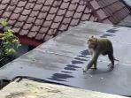 monyet-ekor-panjang-banjarnegara.jpg