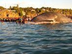 paus-biru-kerdil-kupang.jpg