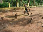 pengunjung-memberi-makan-monyet-ekor-panjang-di-kawasan-candi-batur-pemalang-selasa-1632021.jpg