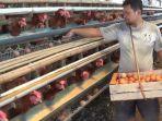 peternak-ayam-petelur-di-kecamatan-patean-kendal-sedang-mengambil-telur-minggu-17102021.jpg