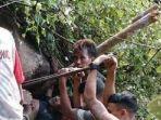 proses-evakuasi-pencari-pohon-serut-ahmad-satiri-alias-ambon-37.jpg