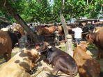 sapi-pasar-hewan-ajibarang-banyumas.jpg