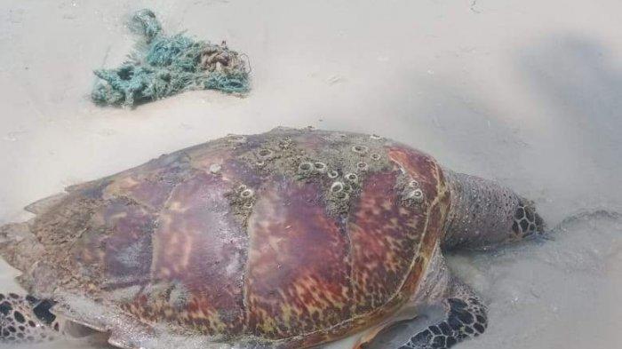 TERDAMPAR, Penyu Sisik Berbobot 8 Kg Ditemukan Mati di Pantai Teluk Sebong Bintan