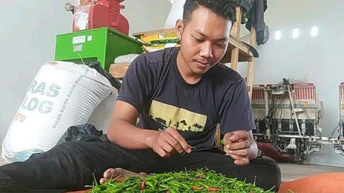 Seorang petugas sedang memetik cabai rawit. Dinas Pertanian Lingga panen cabai rawit di Desa Lanjut, Kecamatan Singkep Pesisir, Kabupaten Lingga, Senin (2/8/2021)