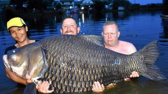 Pria Inggris Ini Tangkap Ikan Mas Terbesar di Dunia, Dipancing di Thailand
