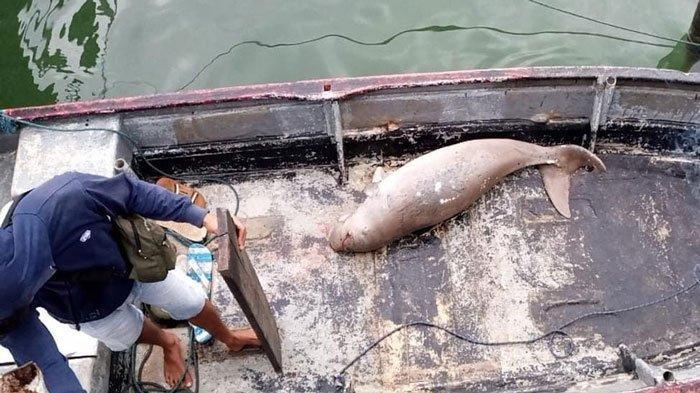 Nelayan Bintan Temukan Seekor Dugong Nyangkut di Jaring Ikan, Begini Kondisinya