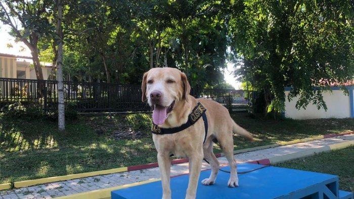 The wonder dog, Andro, anjing K-9 milik Bea Cukai Batam