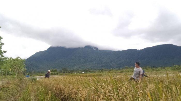 Panen padi di sawah Desa Panggak Darat, Kecamatan Lingga, Kabupaten Lingga, baru-baru ini