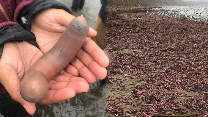 Ribuan Cacing Laut Mirip Mr P Terdampar di Amerika Ternyata Seafood Populer di Korsel