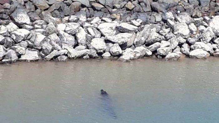 Buaya Muara Berenang di Kawasan Pelabuhan Citra Nusa Kabil, Begini Pengakuan Security
