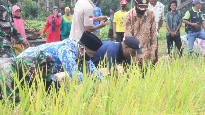 Petani Kecamatan Jemaja Timur Anambas panen padi serentak, Kamis (18/6/2020). Pemda Anambas memberikan bantuan peralatan kerja kepada petani yang menggarap padi