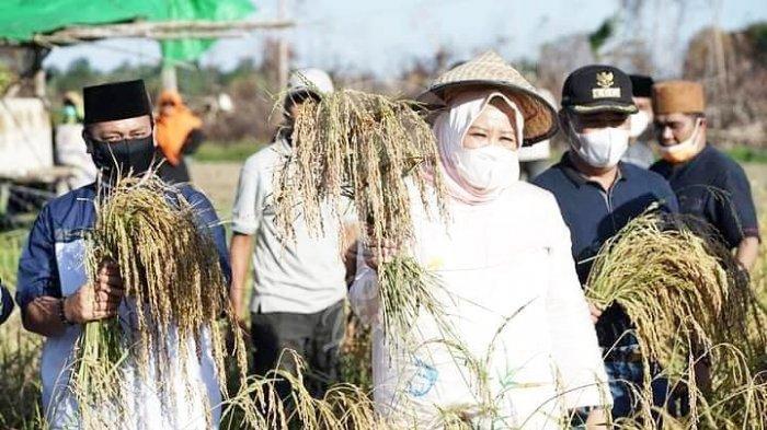 Wakil Gubernur Kepri Marlin Agustina bersama Bupati Lingga Muhammad Nizar dan pejabat daerah lainnya melakukan panen padi perdana di Desa Kerandin, Lingga Timur, Minggu (21/3/2021) sore