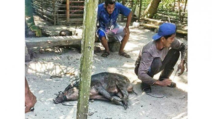 Warga Lingga Resah, Kawanan Babi Hutan Suka Berkeliaran, Rusak Kebun dan Ganggu Unggas