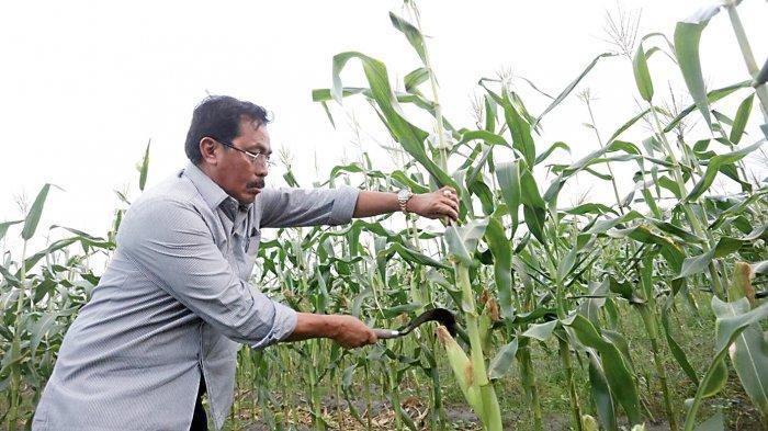 Gubernur Kepri Panen Jagung Manis di Sawang Selatang Kabupaten Karimun