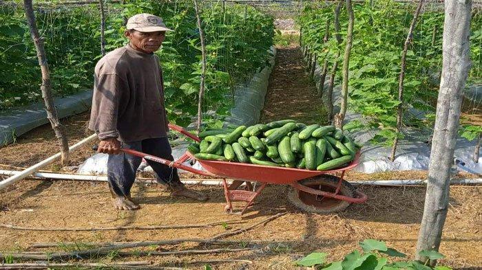 Petani Barelang Menjerit, Harga Sayuran Tergilas Barang dari Luar Batam