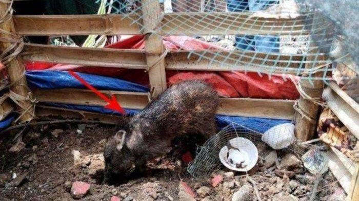 Babi diamankan warga di Kelurahan Bedahan, Sawangan, Kota Depok, Selasa (27/4/2021).
