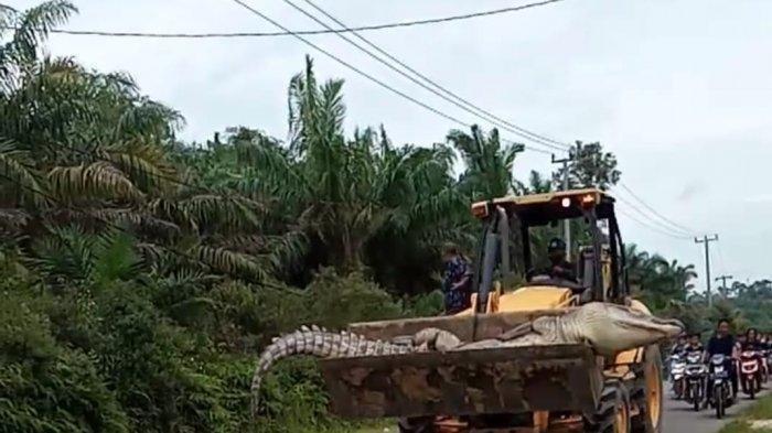 Buaya Siluman 112 Tahun yang Mangsa Warga Dipotong Pakai Buldozer, Dua Badannya Dikubur Terpisah