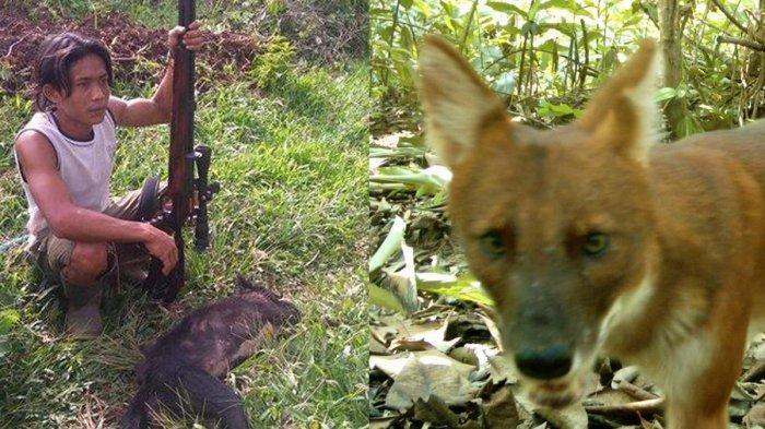 Ajag, anjing hutan liar yang sudah langka diduga yang menyerang hewan terbak warga di Kuningan, Jawa Barat