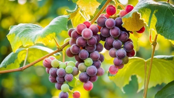 Makan Buah Anggur Sebaiknya Dikupas atau Dimakan langsung dengan Kulitnya? Simak Kata Ahli