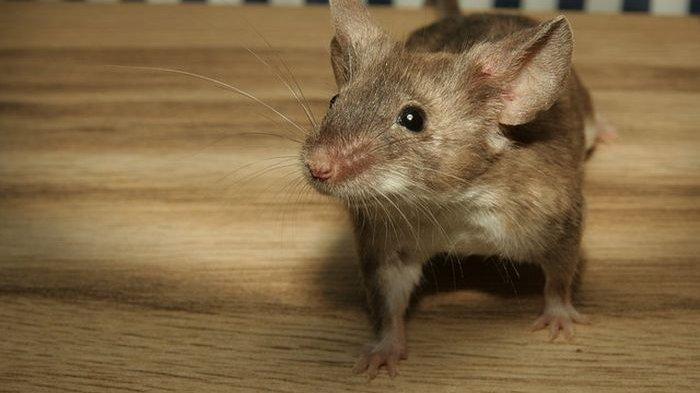 Cara Merawat Kebersihan Rumah dari Tikus, Coba Gunakan Baking Soda hingga Semprotan Cabai
