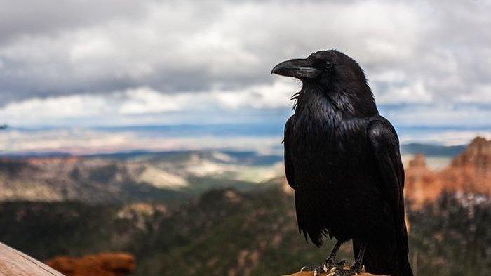 Mimpi Melihat banyak Burung Gagak Pertanda Buruk, Bagaimana dengan Arti Mimpi Dipatok Burung Gagak?