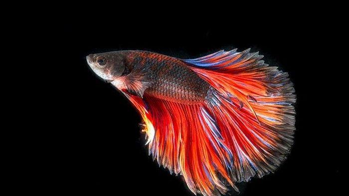 Arti Mimpi Melihat Ikan Identik dengan Pertanda Baik, Jika Melihat Ikan Mas Lambang Kekayaan
