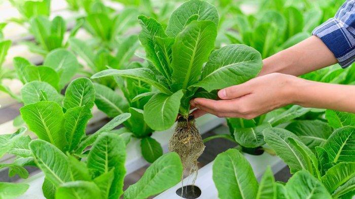HIDROPONIK - Tak Butuh Tanah, Inilah Kelebihan, Kekurangan dan Manfaat Metode Hidroponik. FOTO: ILUSTRASI
