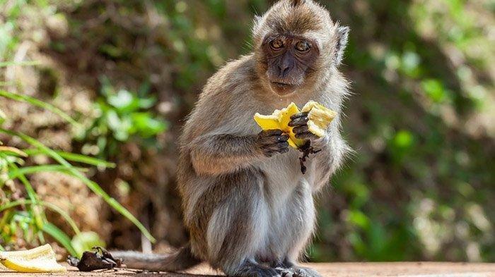 Mimpi Melihat Monyet Mati Pertanda Baik, Bagaimana Jika Mimpi Melihat Monyet Besar?