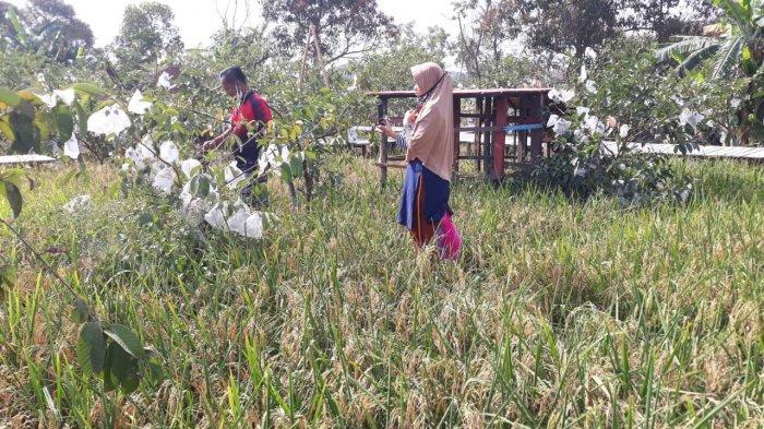 Hamparan padi di kawasan Agrowisata Jambu Marina, Kelurahan Tanjung Riau, Kecamatan Sekupang, Batam, Sabtu (20/2/2021).