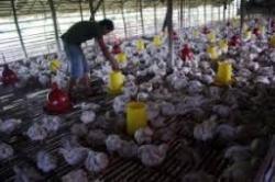 Apakah di Perbolehkan Beternak Ayam di Pemukiman Warga?