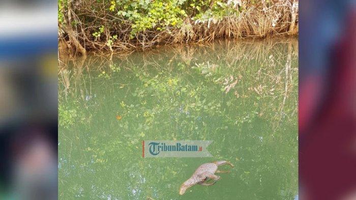 Tak Hanya Ikan, Biawak Juga Ditemukan Mati di Sungai Kawal Bintan, Air Sungai Tercemar?