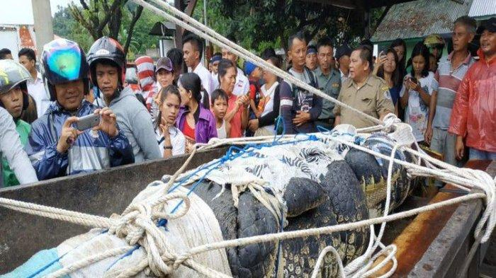 Buaya Pemangsa Manusia Berukuran 4,4 Meter di Minahasa Sulsel Akhirnya Mati