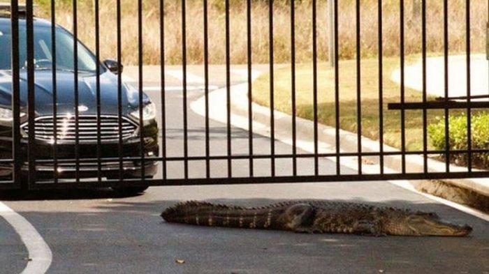 Buaya 3 Meter Berkeliaran di Pintu Gerbang Sekolah, Warga: Sungguh Menangkutkan