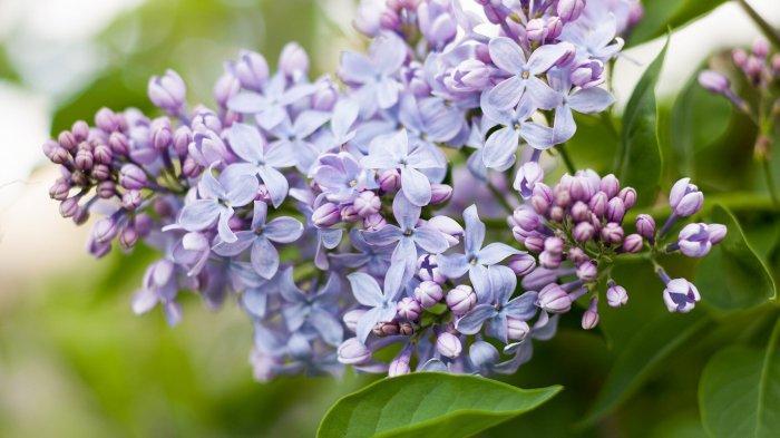 Tak Hanya Cantik, 8 Jenis Bunga Ini Miliki Harum Paling Semerbak, Tanam di Halaman Rumah!
