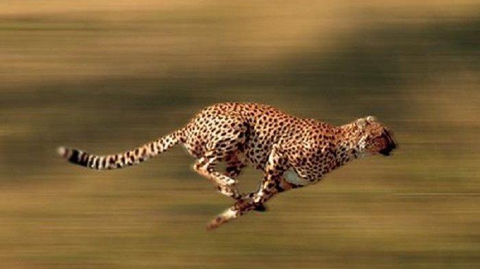 Penyebab Cheetah Mampu Berlari Sangat Cepat, Pengaruh Cakar hingga Ekor