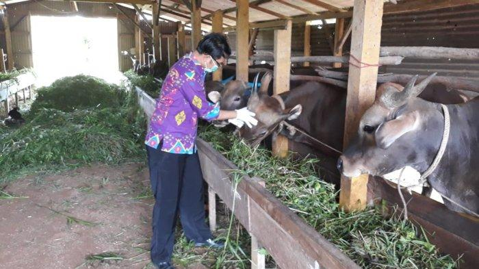 IDUL ADHA 2021 - DKPP Bintan Cek Berkala Hewan Kurban Masuk ke Bintan